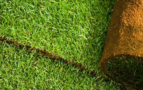 Cultivated Lawn Turf